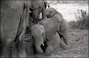 Baby Elephants - ©Lysander Christo