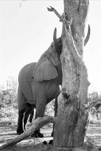 Elephant Scratching - ©Lysander Christo