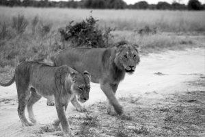 Lion Couple - ©Lysander Christo