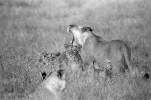 African Lions Pride - ©Lysander Christo