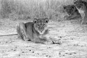 Lioness II - ©Lysander Christo