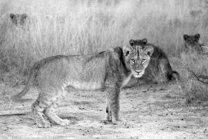 Lioness- ©Lysander Christo