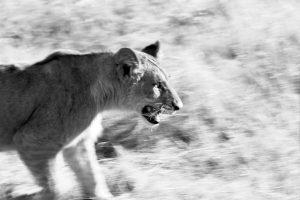 Roar - ©Lysander Christo
