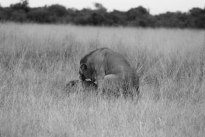 Active Lions - ©Lysander Christo