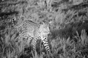 Leopard ©Lysander Christo