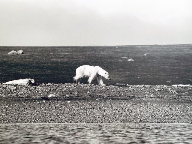 Starving Polar Bear in Svalbard ©Lysander Christo